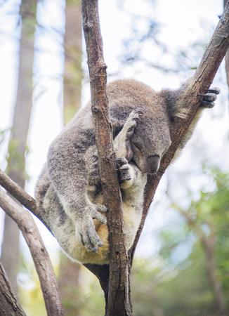 Sleeping koala squashed in tree Stock Photo