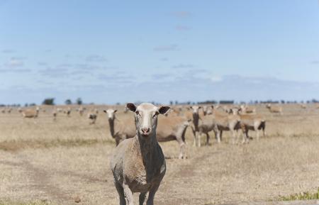 Alone sheep looking at camera