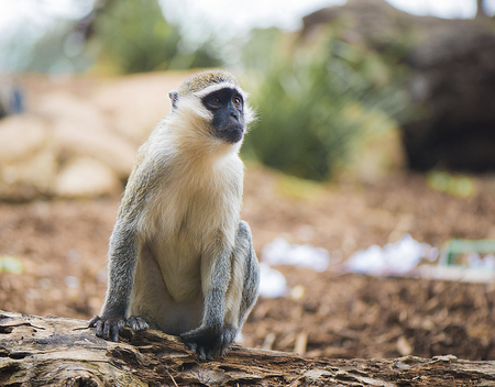 Monkey looking away from camera Imagens