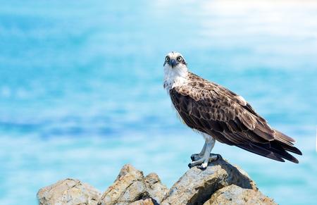 Osprey looking at camera at the beach