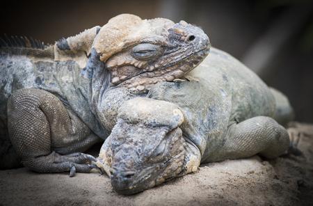 Rhinoceros iguanas Stock Photo