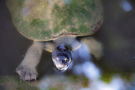 Turtle peaking up from underwater Stock Photo