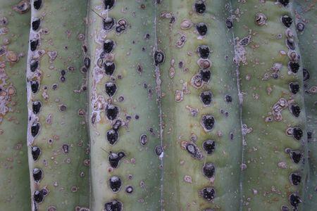 Saguaro Cactus Close-up Stock Photo