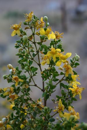 creosote: Creosote Flower
