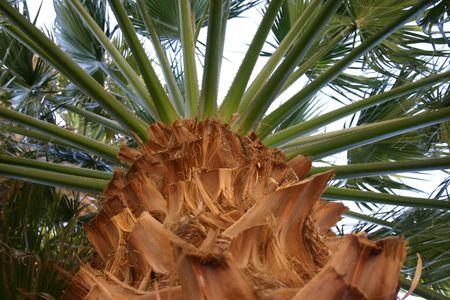 Palm kroon