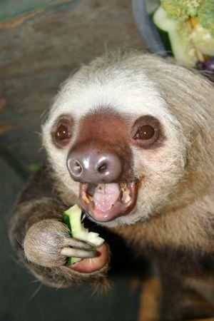 sloth: Pereza comer