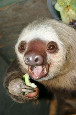 toed: Sloth eating