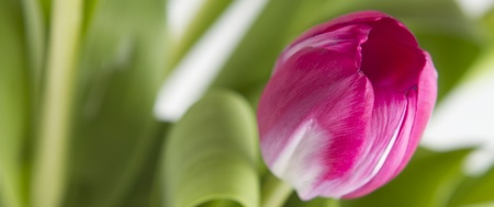 Close up of a pink tulip with soft focus background of foilage