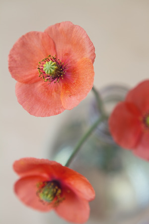 extreme close up: Extreme close up of a red poppy with others blurred in glass bottle Stock Photo