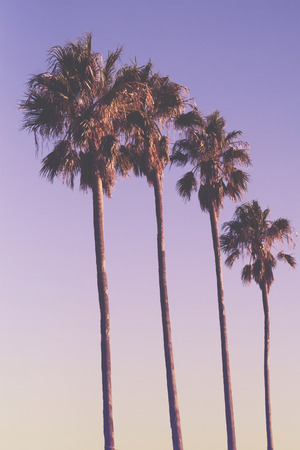 la: Row of four palm trees at sunset with mauve purple sky Stock Photo