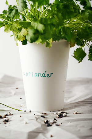 planted: Cilantro coriander herb planted and growing in a paper cup