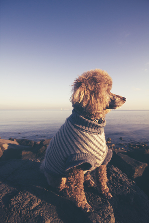 dog rock: Poodle dog looking away side on at sunset at the sea