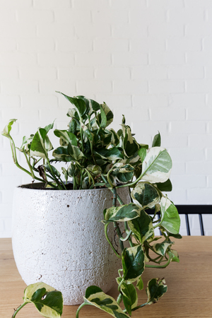 plant in pot: Close up of an indoor pot plant of devils ivy with space for text