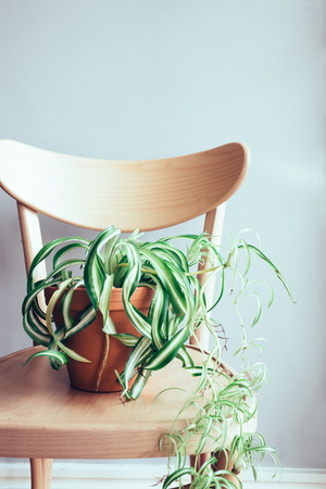styled interior: Close up of indoor pot plant on wooden dining chair Stock Photo