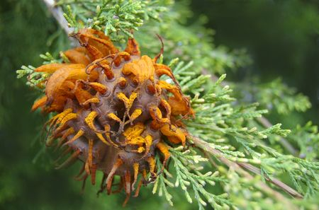 A fully formed cedar apple rust fungus pod on a cedar tree photo