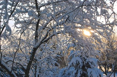Snow covered trees with the rising sun in the background