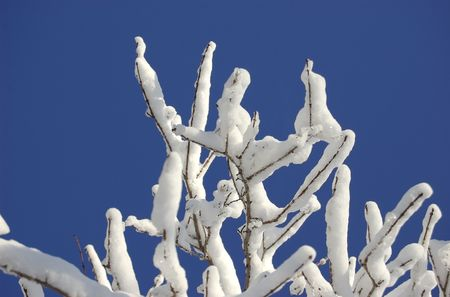 The top of a snow covered tree against a brilliant blue sky Stock Photo