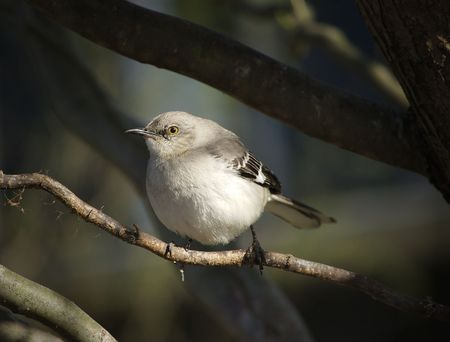 A Northern Mockingbird keeps watch from his perch in a tree Stock Photo