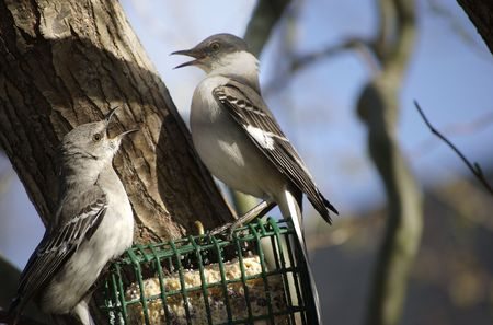 Two Northern Mockingbirds fighting on a suet feeder