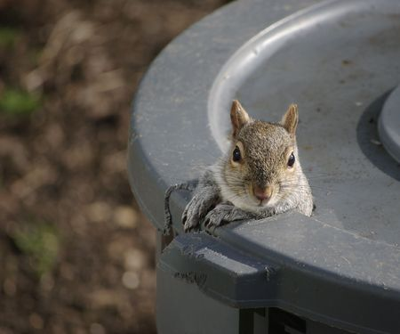 A squirrel peeks out of the hole he chewed in the trash can