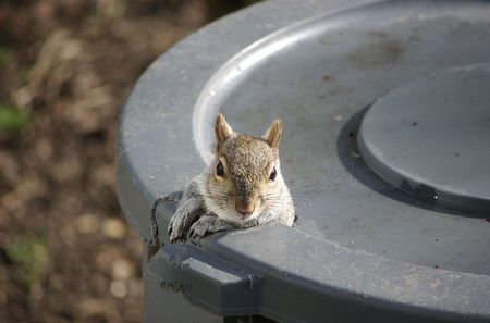 A squirrel peeking out of the the hole he gnawed in the trash can Stock Photo