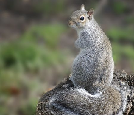 A guilty looking Eastern Gray Squirrel