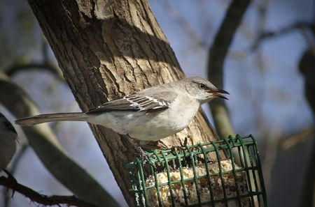 A Northern Mockingbird with his beak open and tongue visible