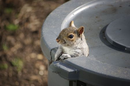 An Eastern Gray Squirrel peeks out of the hole he gnawed in the trash can