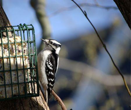 A female downy woodpecker at a suet feeder