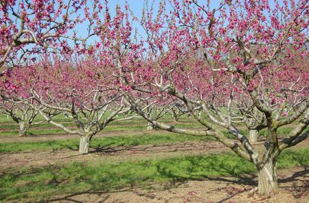 An orchard of peach trees with pink blooms