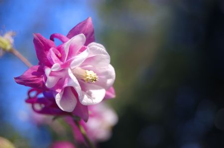 A pink and white columbine flower on a soft background Stok Fotoğraf