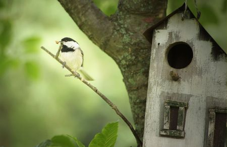 A Black-Capped Chickadee Bird with a bug for her babies