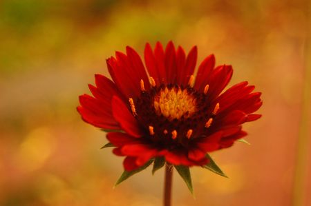 muted: A redburgundy gaillardia flower against a muted background