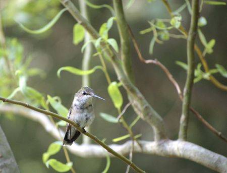A first season ruby throated hummingbird perched in a willow tree Stock Photo
