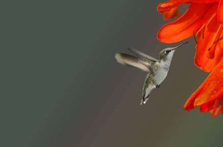 A young Ruby Throated Hummingbird approaching an orange day lily