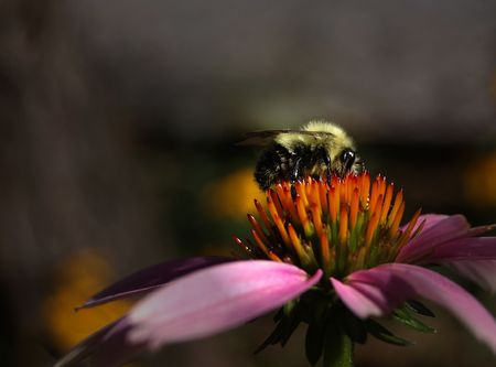 A side view of a Common Eastern Bumblebee on a Purple Coneflower