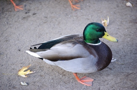 A male mallard duck standing on sand