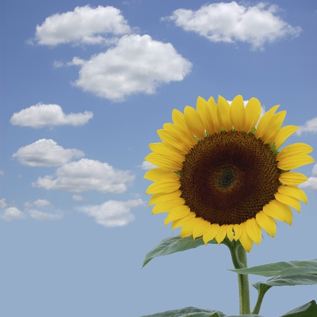 A brilliant yellow sunflower against a blue sky