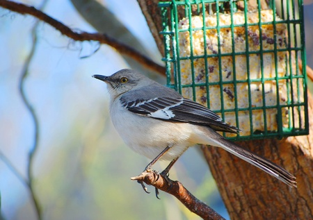 A Northern Mockingbird near a suet feeder Stock Photo