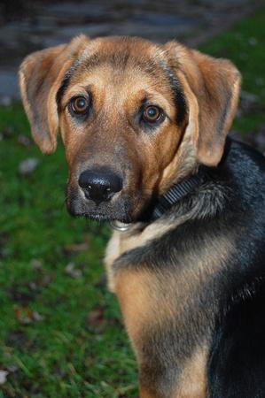 12 month old: A 3 12 mesi di et� cucciolo di pastore tedesco di razza mista, Archivio Fotografico