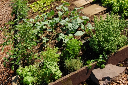 A raised bed organic garden with vegetables and herbs photo