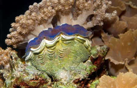 Small Giant Clam on reef in Fiji