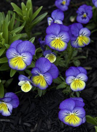 これらの美しい花の雑草のように育ちます。彼らは場所から場所へジャンプします。時々 花は庭の反対側になってをしまいます。彼らはセメントの