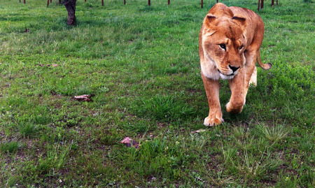 lioness: Young red-haired lioness walks