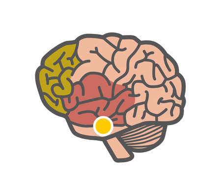 Drawing of the brain. Isolated object on white background. Vector 2D illustration