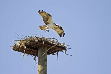 osprey: Osprey at nest
