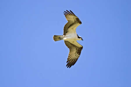 Osprey flying Stock Photo