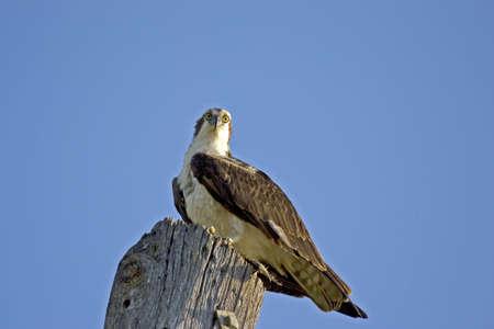 osprey: Osprey perched