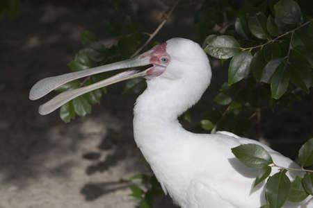 White Spoonbill Stock fotó - 274824