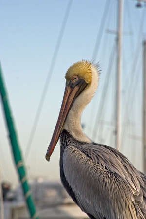 piling: Pelican on piling